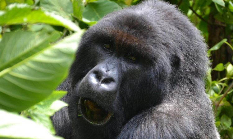 4 Days Rwanda Gorillas and Dian Fossey Hike