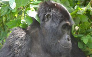 Best Time to Trek Gorillas