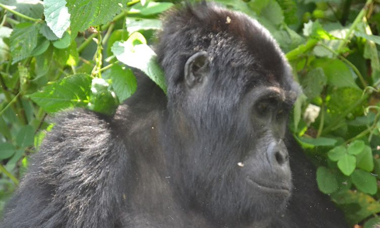 Best Time to Trek Gorillas