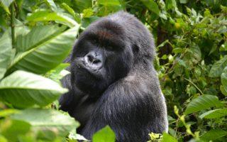 Uganda Mountain Gorilla Families