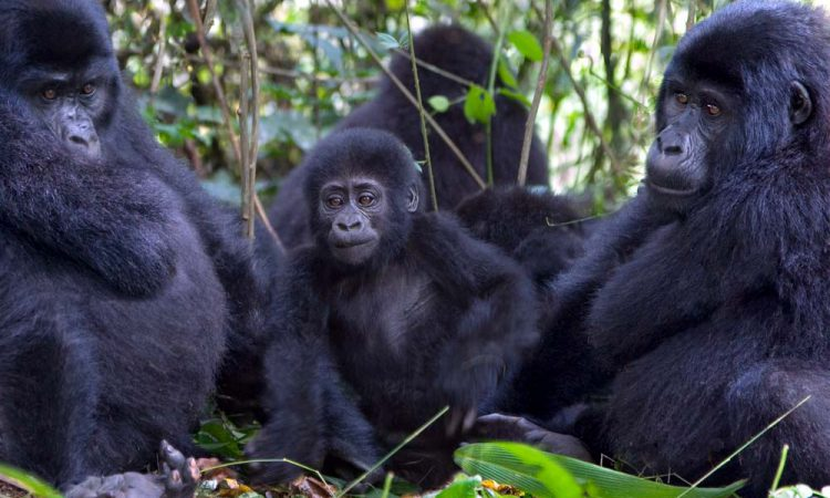 2 Days Rwanda Gorilla Trek, PNV