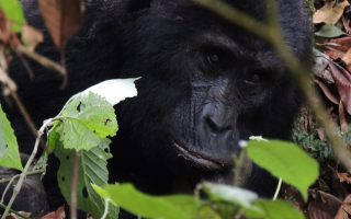 3 Days Volcanoes Gorilla Trek