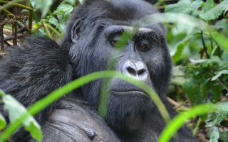 Cost of Gorilla Tracking Permits