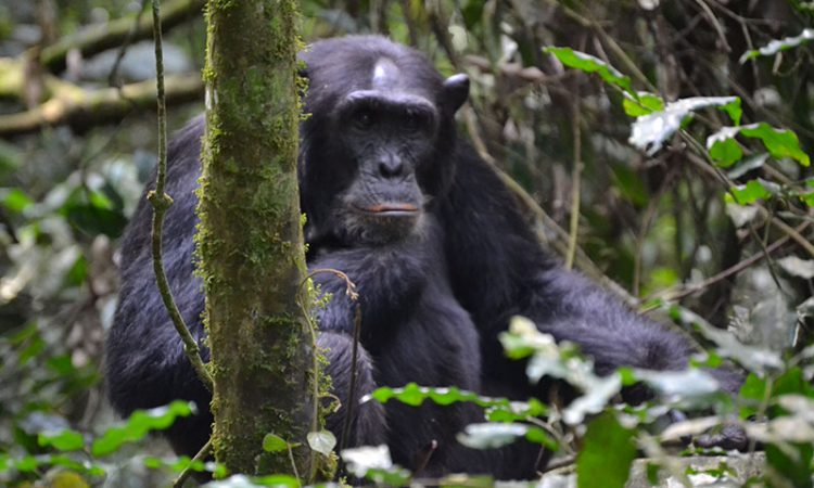 Chimpanzee Trekking in Tanzania