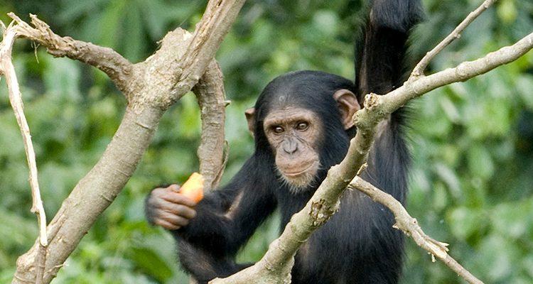 Chimpanzee in Ngamba Island Chimpanzee Sanctuary