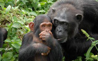 Chimpanzees in Uganda, Rwanda & Tanzania