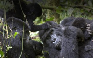 Gorillas in Volcanoes and Bwindi