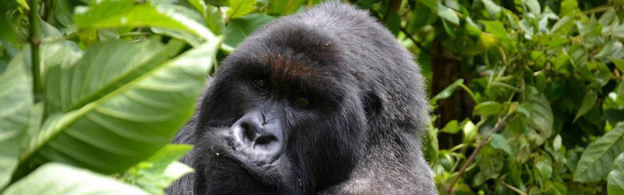 Gorilla Tours Bwindi